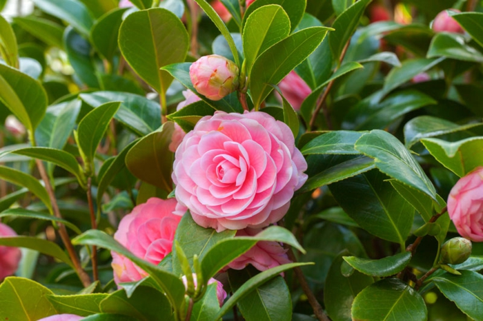 arbuste à feuillage persistant aux fleurs magnifiques, arbuste pour haie vive de floraison hivernale