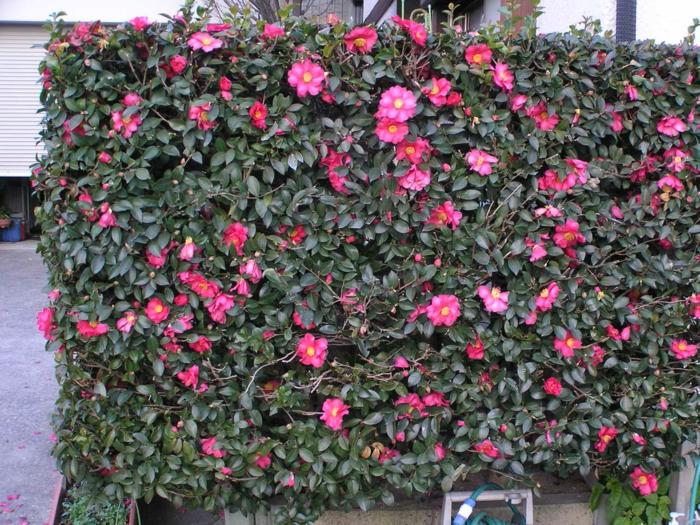 mur végétal créé avec camellia japonica, plantes pour jardins paysagistes