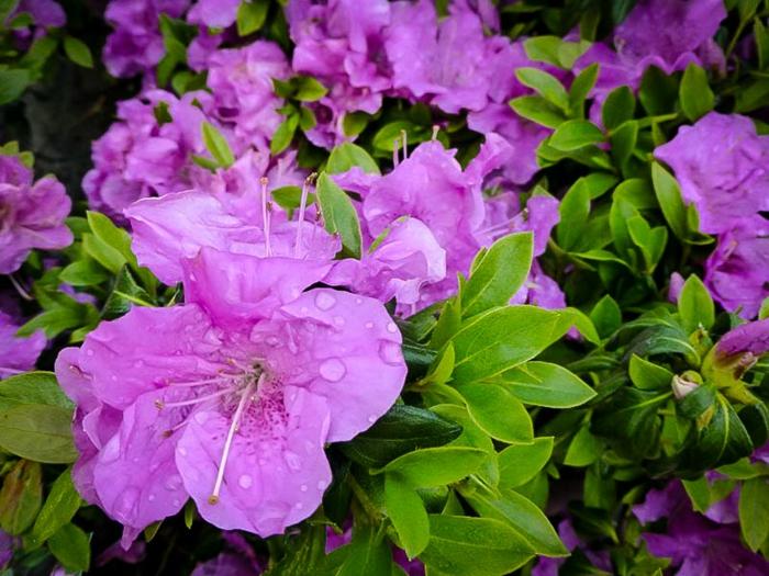 camellia aux fleurs couleur violet, arbuste de haie persistante, quelles plantes pour le jardin