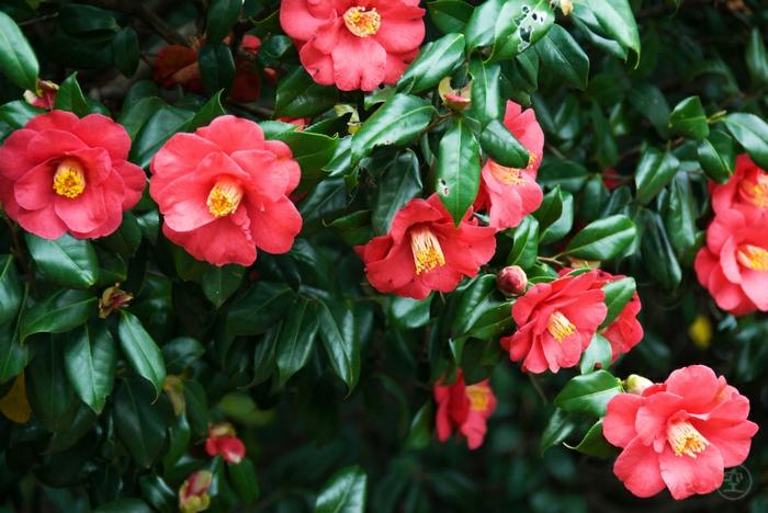 plantes de jardin fantastiques, le monde des arbustes fleuris et tapissants