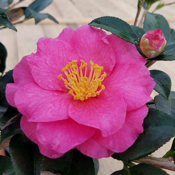 camellia rose, arbuste de jardin qui aime être à l'abri du vent, floraison pendant l'hiver