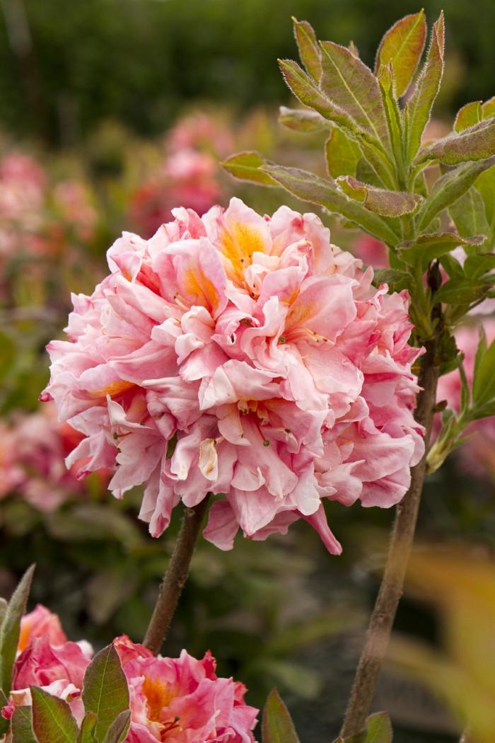 azale rose, arbuste a fleur joli arbuste de haie fleurie pour créer des haies vivantes