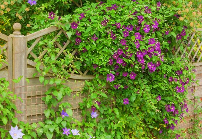 arbuste clematis à floraison superbe en lilas violet, fleur rampante de jardin