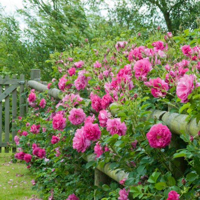 jolie idée d'arbuste planté près de la clôture, massif de camellias dans le jardin