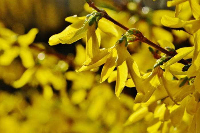 haie de jardin jaune avec corête du Japon, floraison prolifique au début du printemps