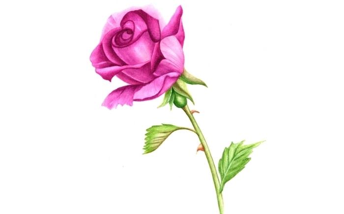 joli dessin en couleurs, modèle de rose fuchsia aux feuilles vertes, idée comment dessiner une rose semi-ouverte