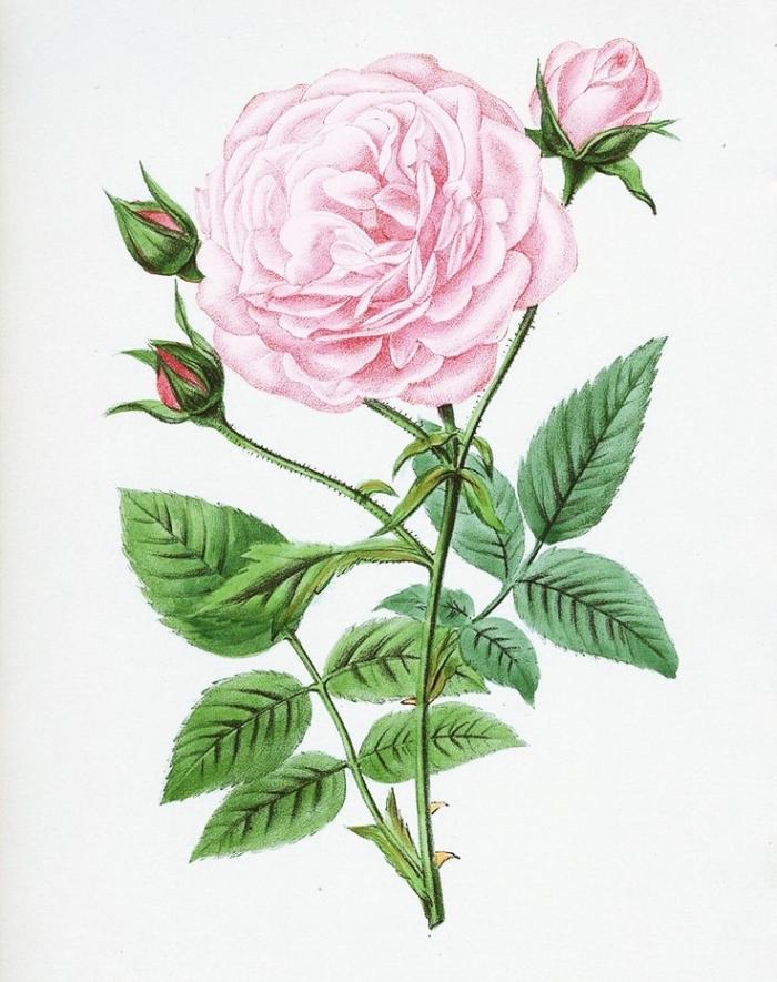 joli dessin réaliste de roses fermées et ouvertes de couleur rose aux feuilles vertes, modèle de dessin de fleur réaliste