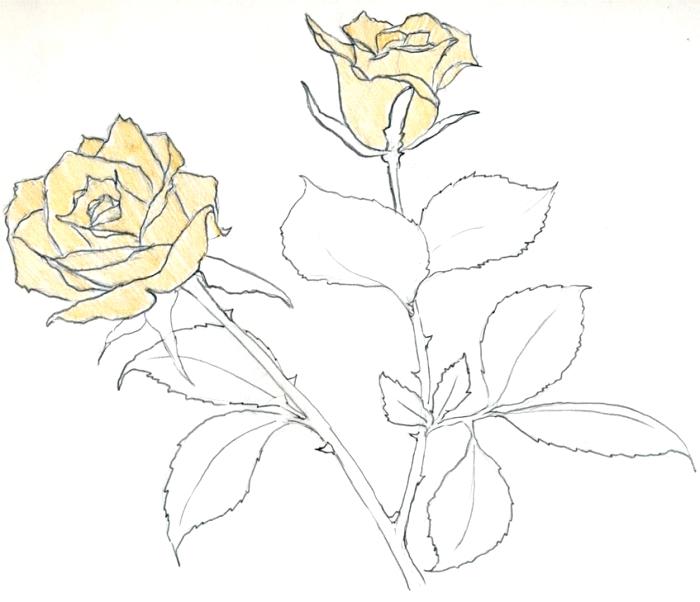 idée comment faire un dessin facile de bouquet de roses jaunes, croquis de roses ouvertes aux pétales jaunes