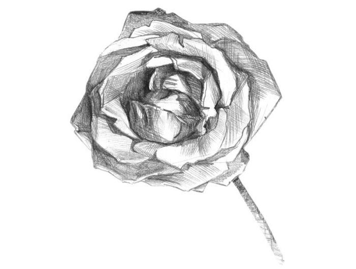 croquis de rose ouvertes, exemple de technique de dessin au crayon blanc et noir, modèle de rose à dessiner