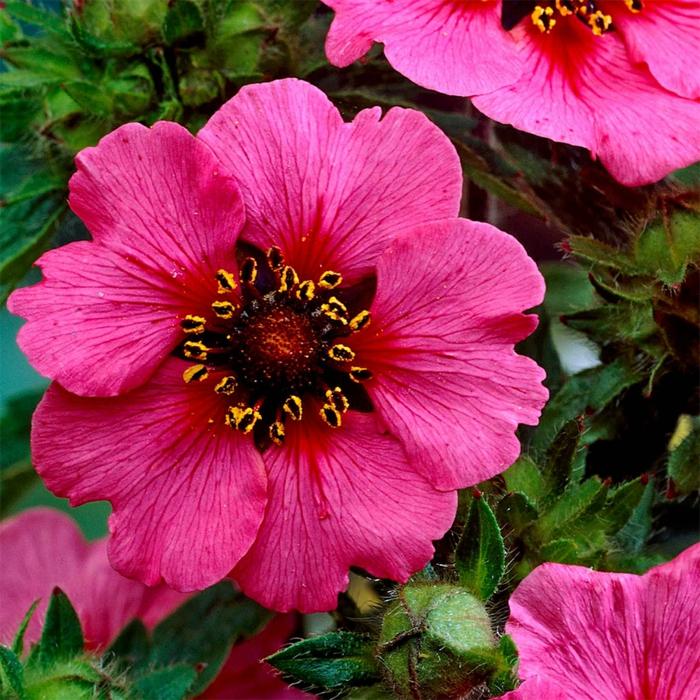 potentilla nepalensis, arbuste fleur rose, fleur ronde à cinq pétales, floraison généreuse