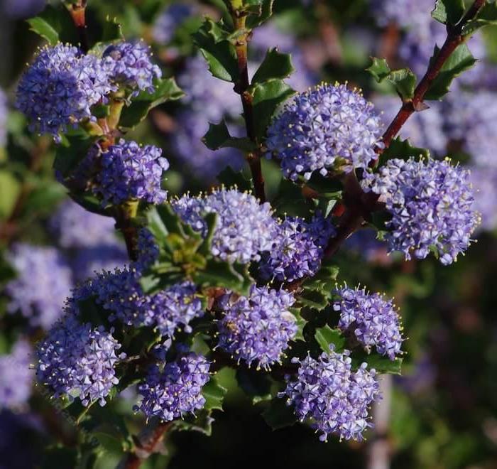 arbustes et arbrisseaux pour les jardins, ceanothe avec floraison en violet