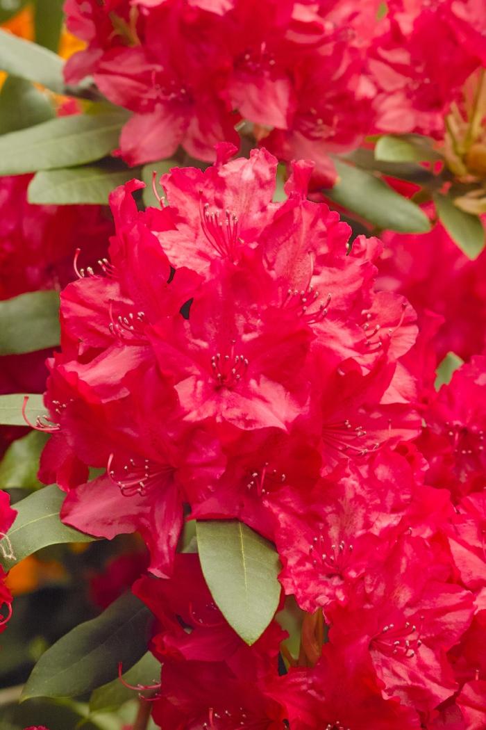 arbuste azale, un arbuste fleur rouge, plante qui fleurit en touffes de petites clochettes