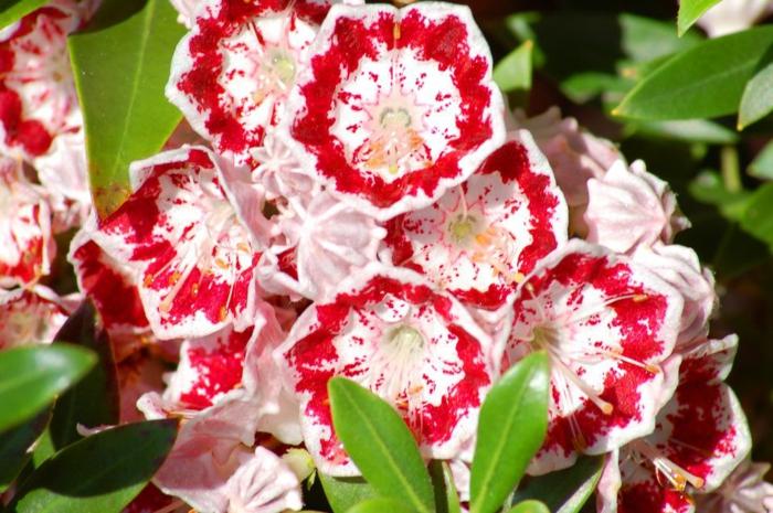 haie vive, buisson fleuri panaché rouge et blanc, touffe de fleurs fraîches pour le jardin
