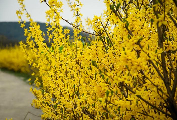 arbuste à floraison précoce, fleurs couleur jaune d'or, arbustes pour haies vivantes