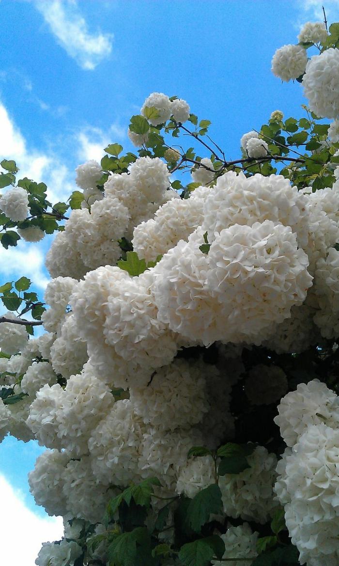 hydrangea fleurie en blanc, arbuste joli à floraison abondante, fleurs pour haie vive