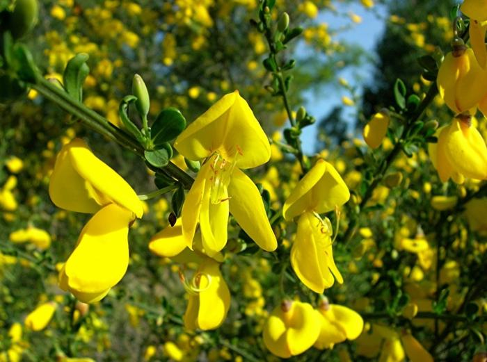 haie vive, haie fleurie de forsythia, arbuste jaune persistant et très rustique