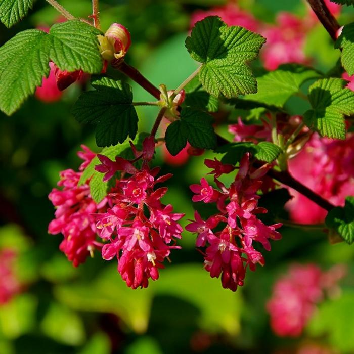 ribes sanguineum ou groseiller à fleurs, floraison rose suivie de baies parfumées