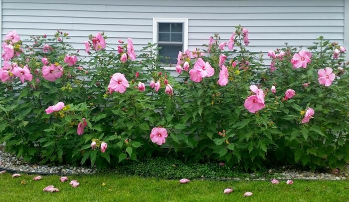 le hibiscus est un arbrisseau ornemental à jolie floraison, haie créée devant la maison