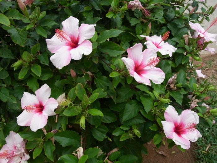 hibiscus rose fleuri, arbuste pour haie fleurie rose pâle, arbuste fleur rose