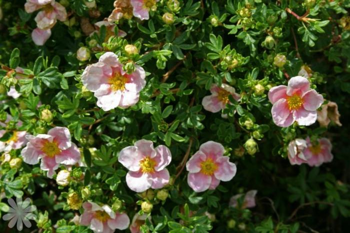 haie fleurie de potentilla fruticosa, arbustes verts tapissants pour le jardin