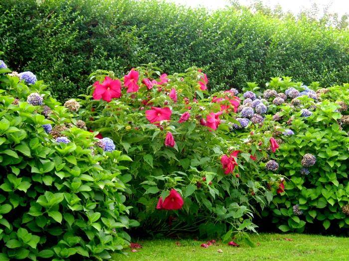 arbuste hortenzia associé aves hibiscus rose, haies vertes et haies fleuries vivantes