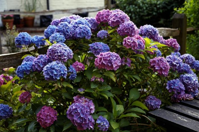 arbuste hortenzia lilas et violet, arbuste fleuri dans le jardin, fleurs en touffes