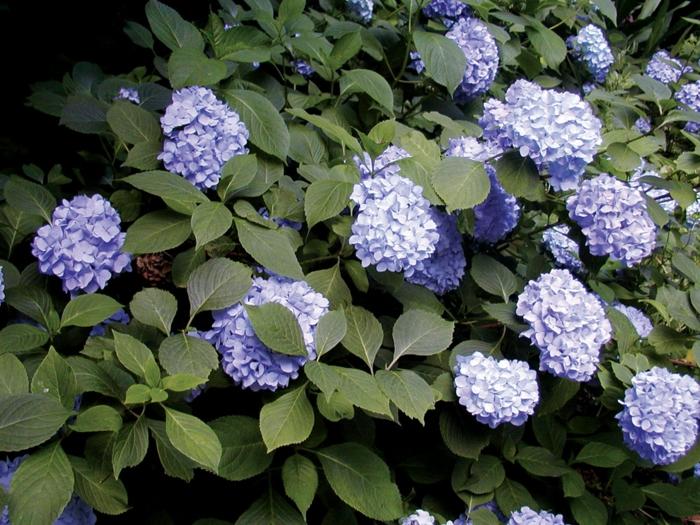 hortenizas, un arbuste populaire et joli pour l'extérieur, comment cultiver des arbustes
