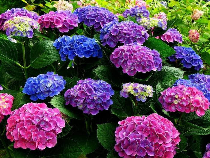 hydrangea fleurie en plusieurs couleurs, arbuste ornemental populaire aimé de tout le monde