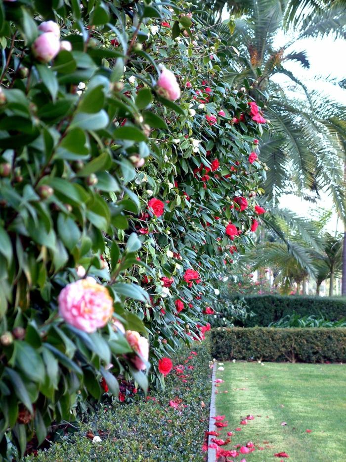 camellias fleuris en haie, jardin paradisiaque vert, haie basse verte bien taillée