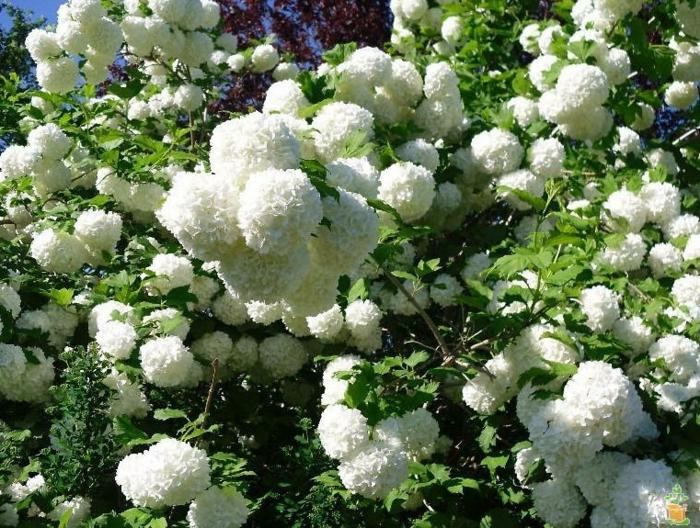 arbuste persistant pour haie 2 m, hydrangea blanche, arbuste haut
