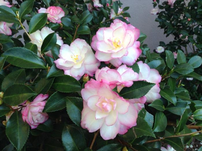 camellia blanc panaché de rosé, feuillage lustré vert, haie persistant fleurie