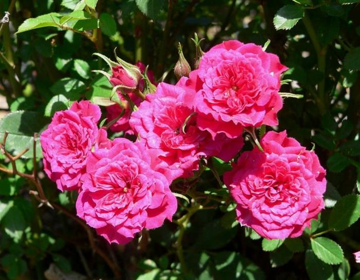 plantes pour haies et massifs, camellias roses, arbuste persistant fleuri