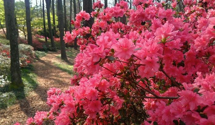 azalées qui poussent dans la forêt, une floraison magnifique, plante de la famille du rhododendron
