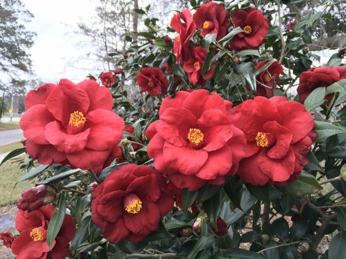 camellias rouges fantastiques, arbuste persistant fleuri rose, rouge ou blanc