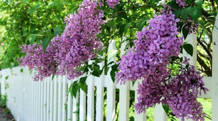 arbustes lilas violet, arbuste de haie, cloison en bois peinte blanche, arbuste de haie