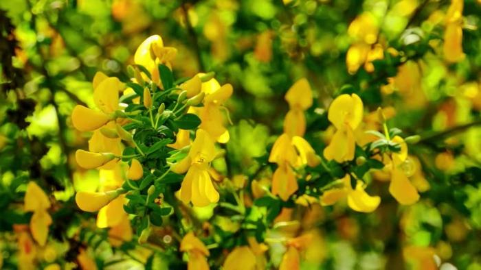 forsythia jaune, plante ornementale à floraison vive en jaune d'or, arbuste fleuri