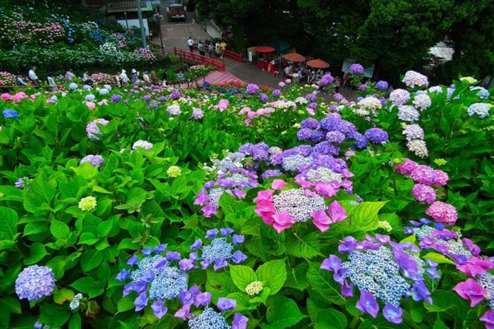 hortenzias fleuries en rose et lilas, feuillage épais, plantes pour couvrir des massifs