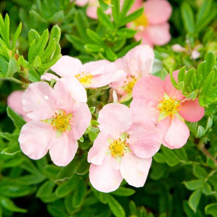 potentilla rose, arbuste joli pour le jardin, feuillage très vert, arbustes pour haies