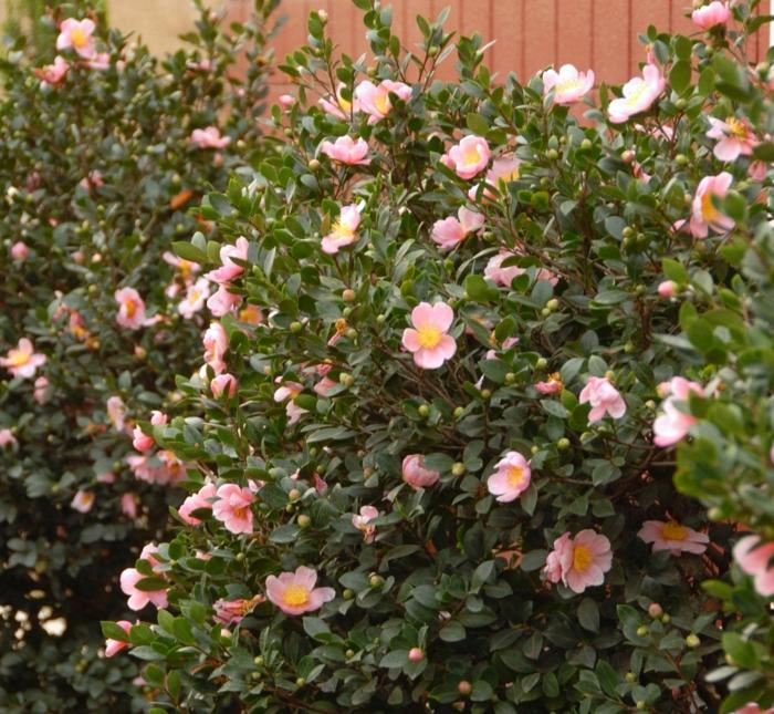 arbuste ornementale, arbuste pour haie croissance rapide, potentilla fruticosa à fleurs roses