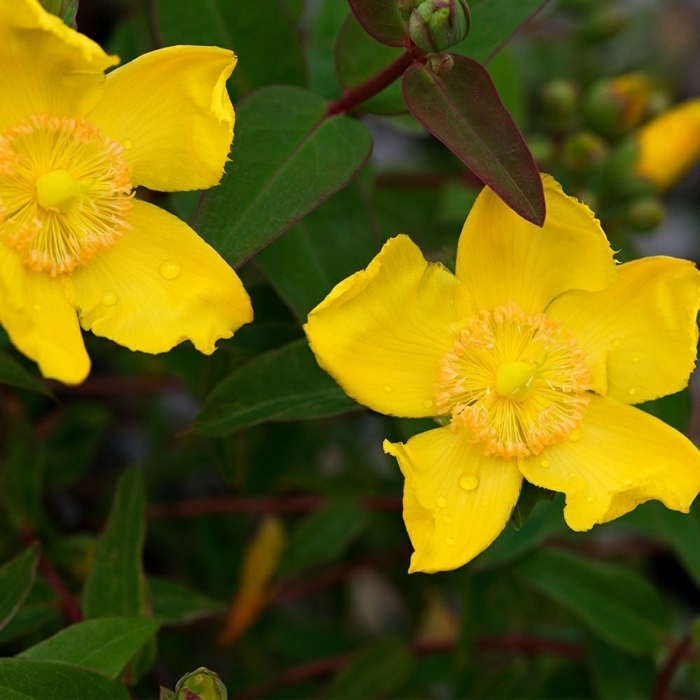joli arbuste résistant pour haie de jardin, fleurs jaune d'or épanouies, feuillage très vert