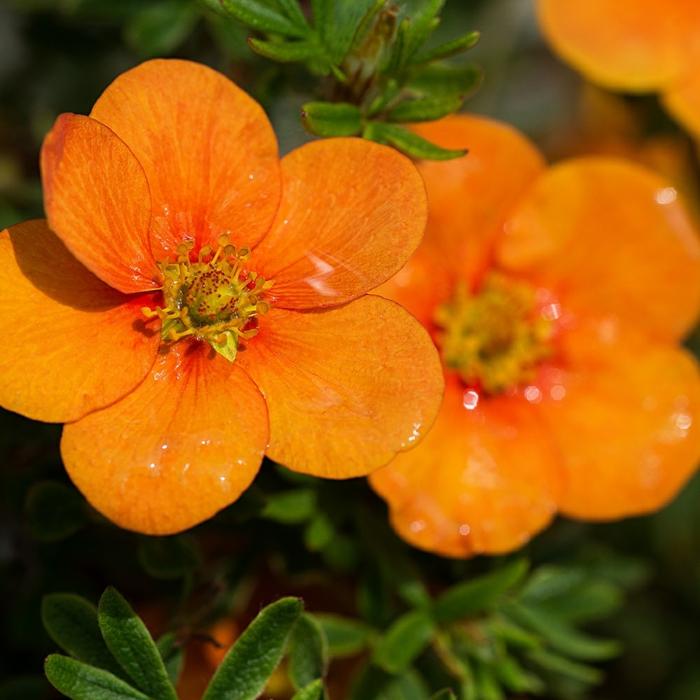 haie fleurie de tangerine, potentilla fruticosa couleur orange, haies fleuries