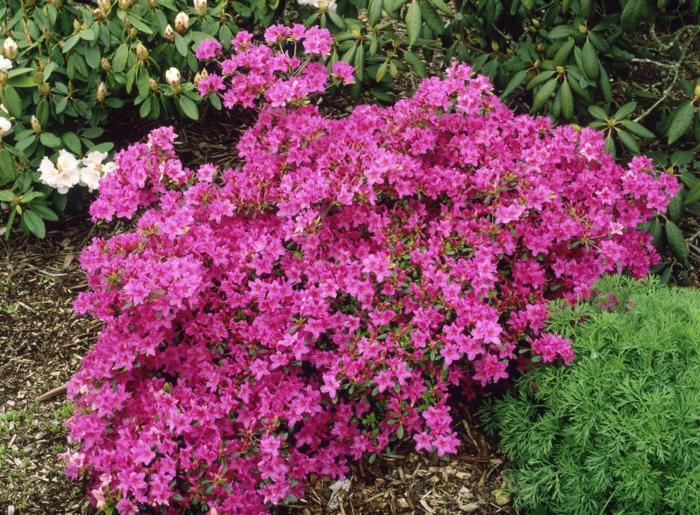 massifs jardiniers paysagers avec azalées et rhododendrons, quelle plante pour quel jardin