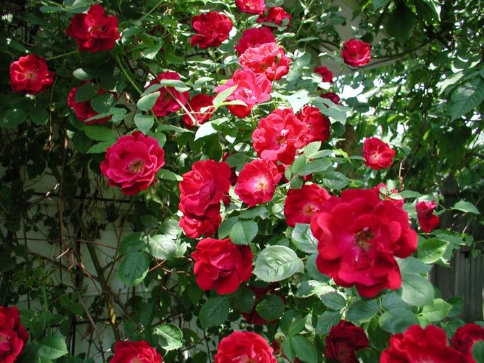 plante rampante, jolie rose a couleur vermeil, arbuste pour haie croissance rapide