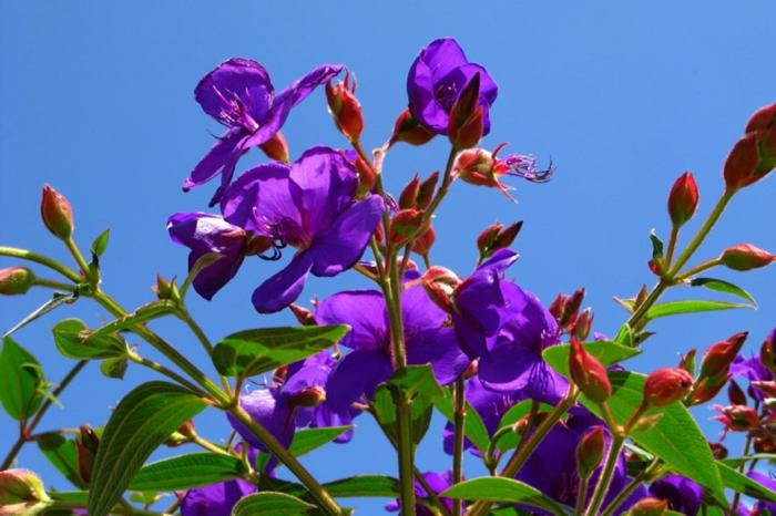 tibouchina urvilleanna, arbuste à origine brésilienne, feuillage persistant, jolie inflorescence