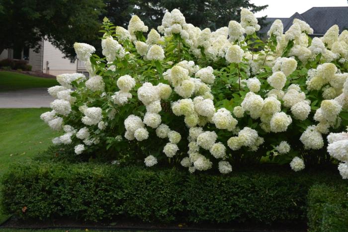 hortenzias feuris dans un jardin, arbuste de jardin pour des haies fleuries