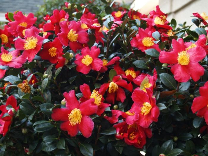 plantes de jardin persistantes, camellia rouge à inflorescence impressionnante