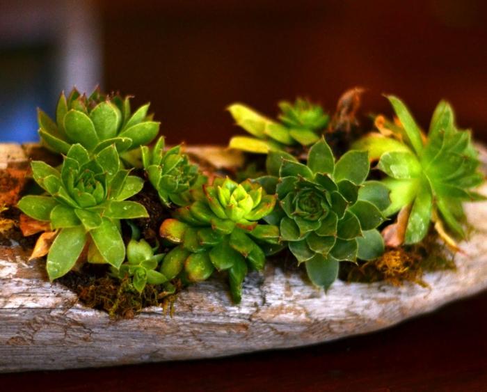 mini jardin créé avec bois flotté, plantes succulentes plantées dans un morceau de bois flotté