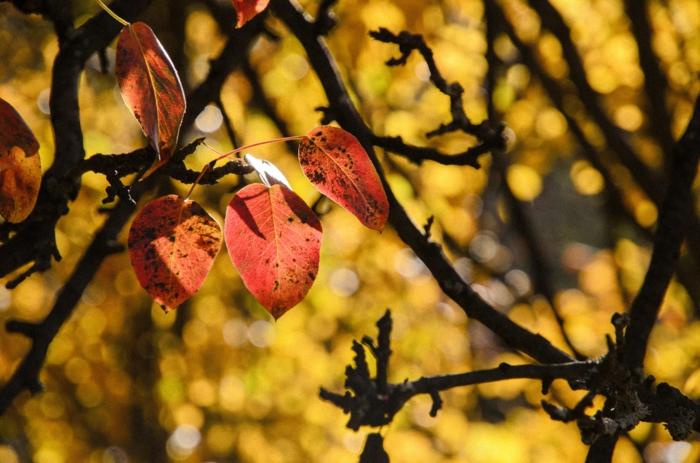 arbre aux feuilles rougeoyantes, arrière plan feuilles jaunes, photo pour fond d'écran