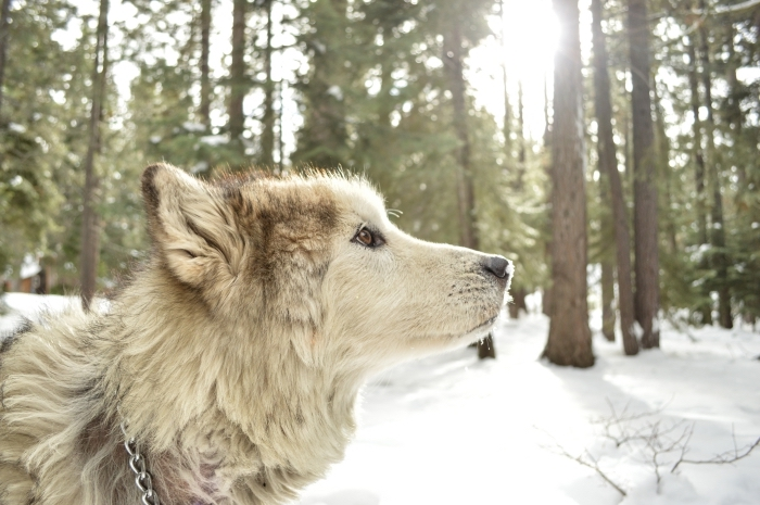 photo de chien dans une forêt couverte de neige, idée fond d écran gratuit pour ordinateur sur le thème d'hiver