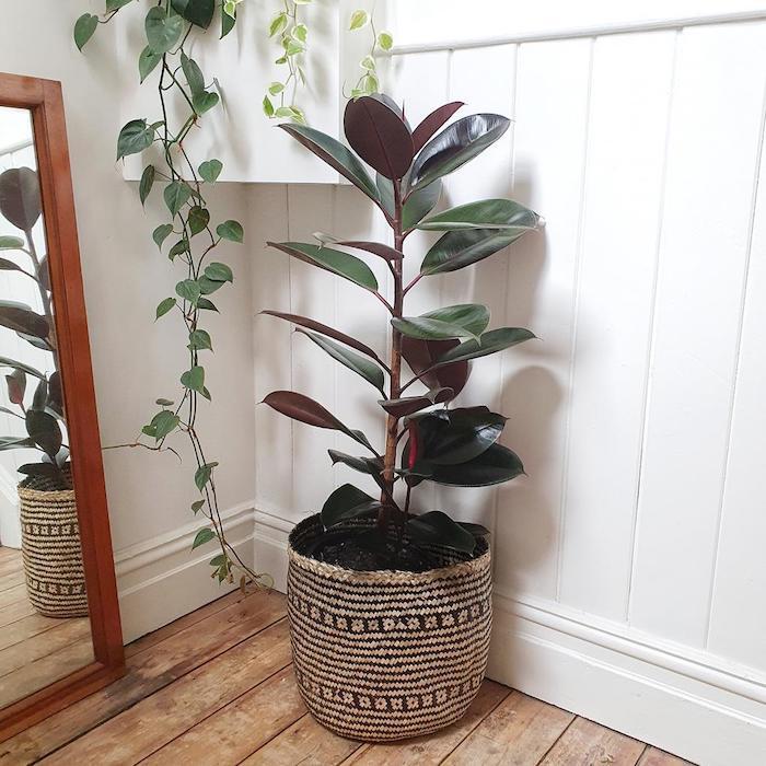ficus elastica arbre à caoutchouc idée de plante d intérieur difficile à crever en pot